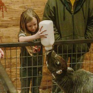 Feeding a baby calf at the petting zoo