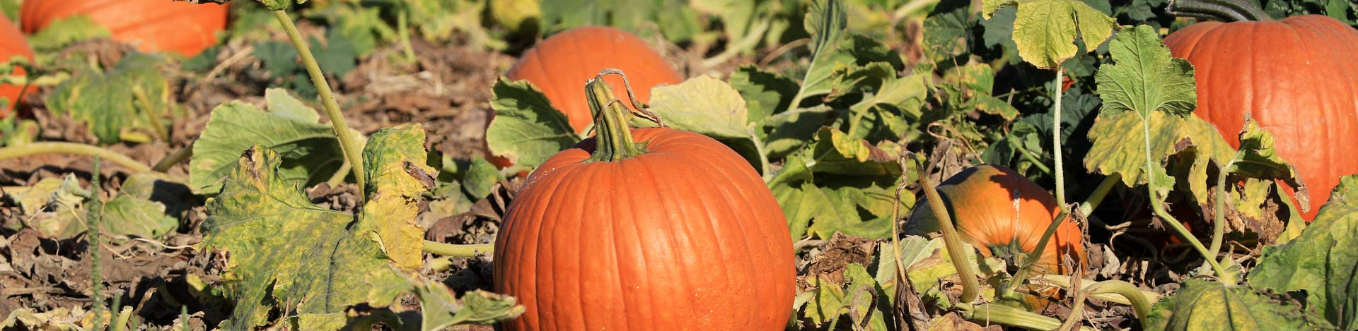Pumpkin Patch at Country Roads Family Fun Farm - Stotts City, Missouri