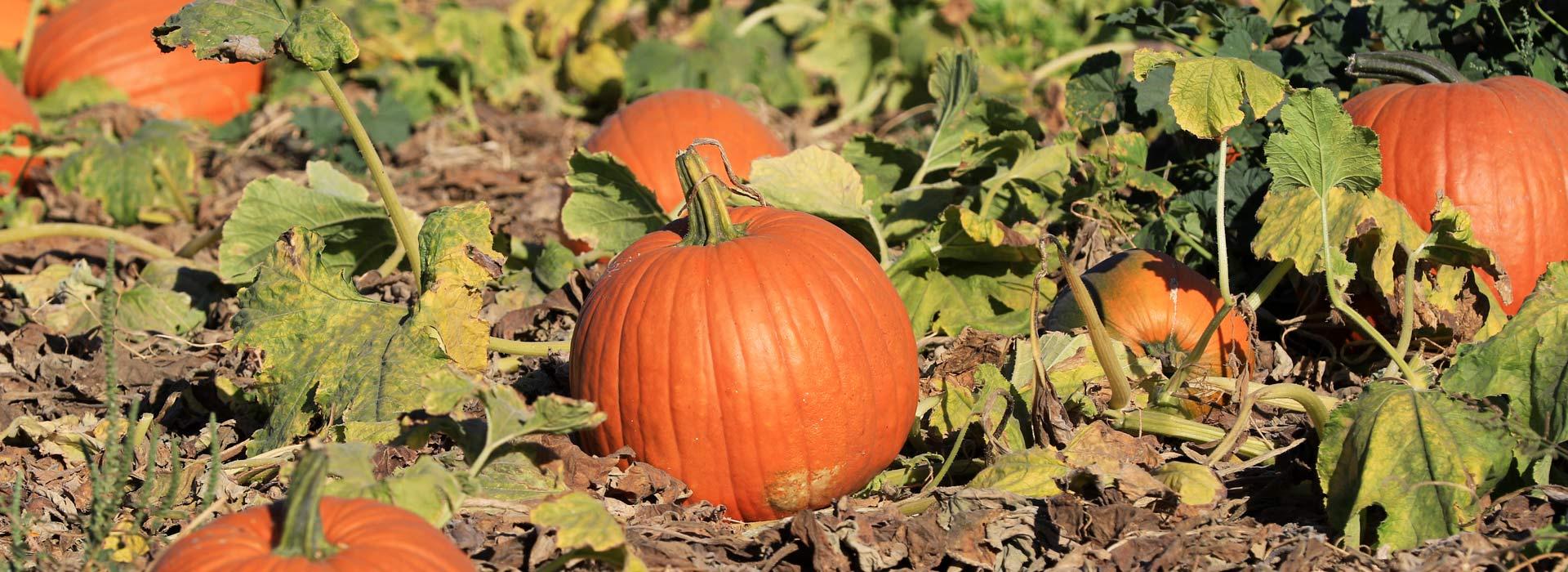 Pumpkin & Play