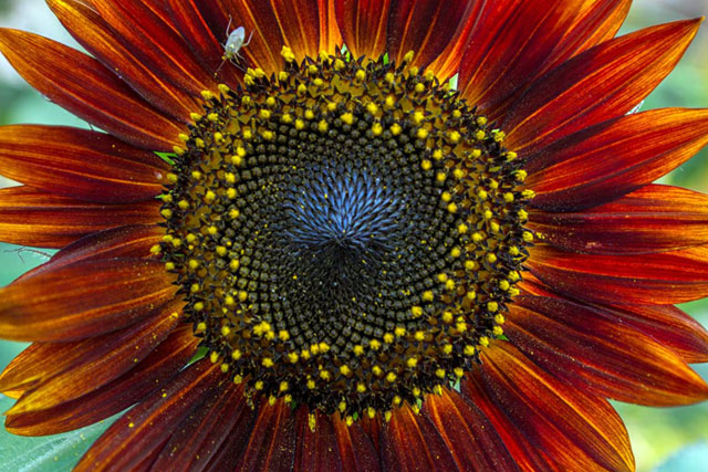 Big red sunflower at Country Roads Family Fun Farm - Stotts City, MO