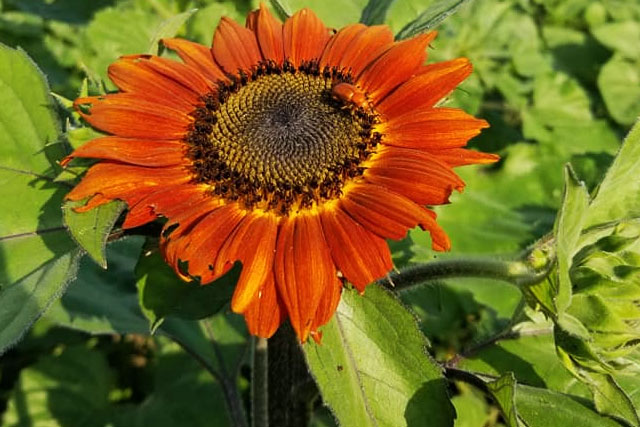 Orange sunflower at Country Roads Family Fun Farm - Stotts City, MO