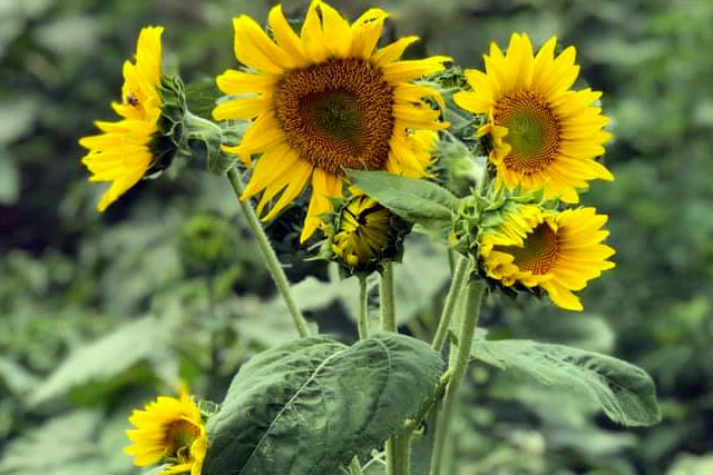 Sunflowers at Country Roads Family Fun Farm - Stotts City, MO